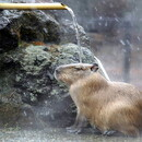 Kapibar
