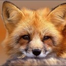 Foxovu4
