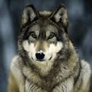 Wolf_UKG