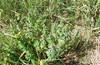 Трынь-трава #11 ягодная