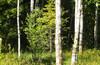 Сон сына Сусанина в лосином лесу